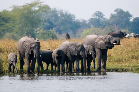 Elephants in Liwonde National Park, Malawi.